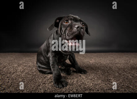 Black Staffordshire Bull Terrier puppy on dark background - Stock Photo