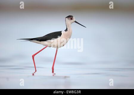 Black-winged stilt, Himantopus himantopus, single bird in water, Romania, May 2015 - Stock Photo