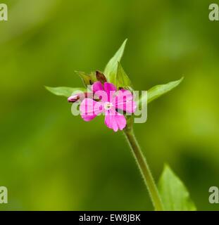 Red Campion Wild flower - Stock Photo