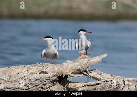 Common tern, Sterna hirundo, two birds by water, Romania, May 2015 - Stock Photo
