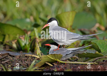 Common tern, Sterna hirundo, two birds mating, Romania, May 2015 - Stock Photo