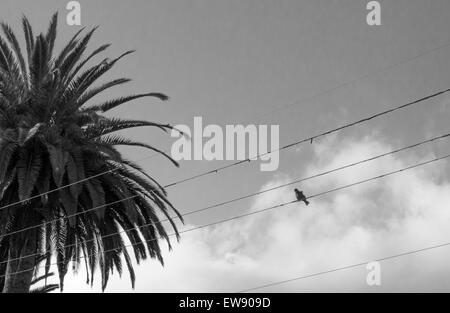 Bird on a wire near a palm tree, in black and white - Stock Photo
