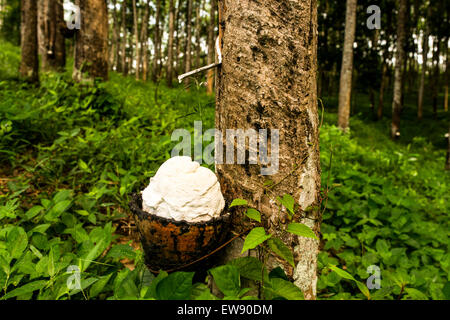 A tapped Pará rubber tree (Hevea brasiliensis) dripping latex into a cup for processing into natural rubber. - Stock Photo