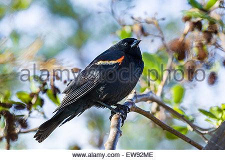 Male red-winged blackbird (Agelaius phoeniceus) in Rouge National Urban Park in Toronto Ontario Canada - Stock Photo