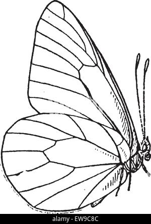 Lepidopteran or Lepidoptera, vintage engraved illustration. Dictionary of Words and Things - Larive and Fleury  - Stock Photo