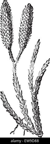 Ground Pine or Lycopodium sp., vintage engraved illustration. Dictionary of Words and Things - Larive and Fleury - Stock Photo