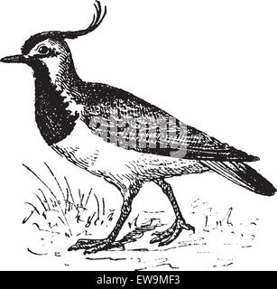 Vanellinae or crested lapwing, vintage engraved illustration. Dictionary of words and things - Larive and Fleury - Stock Photo