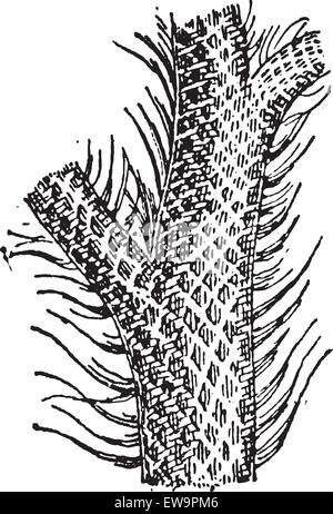 Lepidodendron, showing trunk and grass-like leaf blades, vintage engraved illustration. Dictionary of Words and - Stock Photo