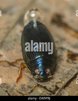 Whirligig beetle under water in an aquaium - Stock Photo