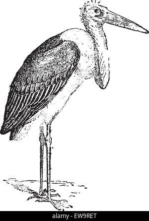 Marabou Stork or Leptoptilos crumeniferus, vintage engraved illustration. Dictionary of Words and Things - Larive - Stock Photo