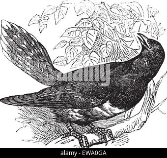 Common Cuckoo or Cuculus canorus, vintage engraving. Old engraved illustration of a common Cuckoo. - Stock Photo