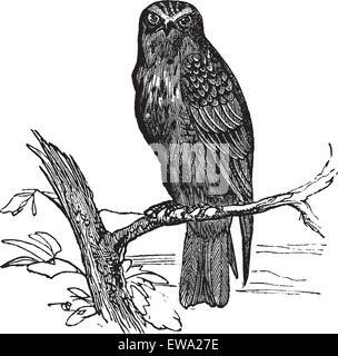 Eurasian Hobby or Falco subbuteo, vintage engraving. Old engraved illustration of Eurasian Hobby waiting on a branch. - Stock Photo