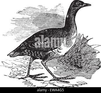 Corn Crake or Crex crex or Rallus crex or Corncrake or Landrail, vintage engraving. Old engraved illustration of Corn Crake in the meadow.