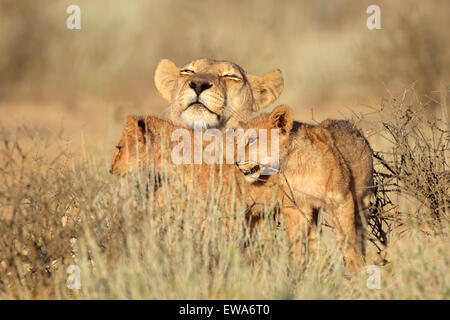 Lioness with young lion cubs (Panthera leo), Kalahari desert, South Africa - Stock Photo