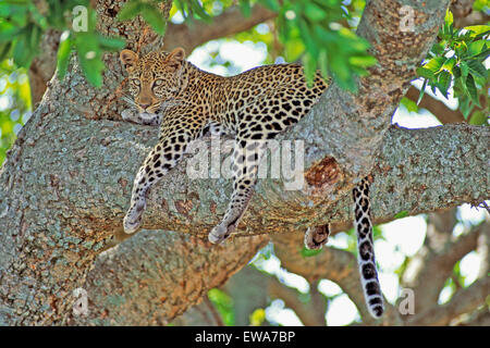African Leopard resting in tree,Masai Mara,Africa - Stock Photo