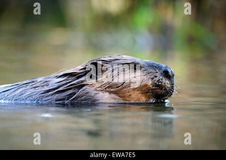 Beaver large adult swimming in pond, portrait close up - Stock Photo