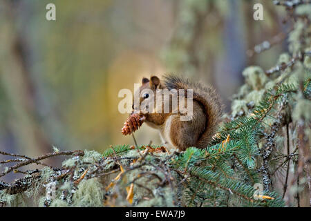 Red Squirrel in tree, feeding on cone seeds - Stock Photo