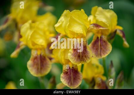 yellow and brown iris flowers stock photo, royalty free image, Beautiful flower