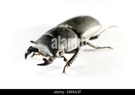 Lesser stag beetle (Dorcus parallelipipedus) photographed on white paper. - Stock Photo