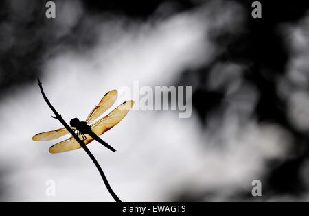 Golden dragonfly - Stock Photo
