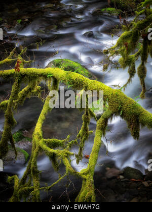 Moss covered tree along banks of Eagle Creek. Columbia River Gorge National Scenic Area, Oregon - Stock Photo