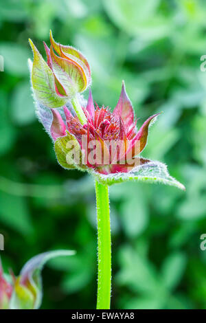 Closeup of a red double bee balm blossoming in the morning sun - Stock Photo