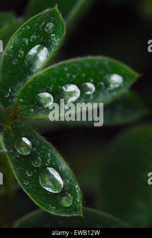 Raindrops balanced on a green nasturtium leaf - Stock Photo