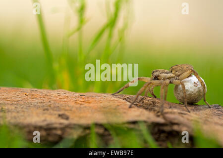 Wolf spider (family Lycosidae). This female wolf spider is carrying her egg case (cream, right) in her palps and - Stock Photo