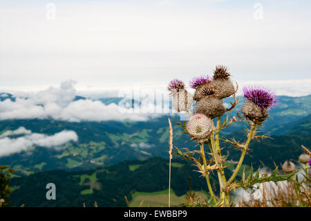 thistle flower on a mountain range - Stock Photo