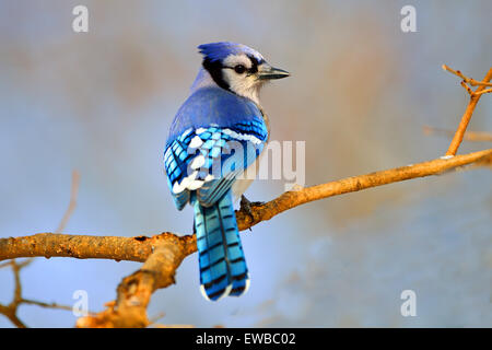 Blue Jay standing on a tree branch - Stock Photo
