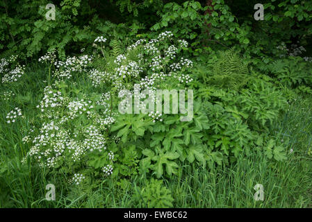 Early summer greenery including foliage of Hogweed, cow parsley and ferns.