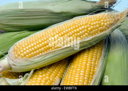 Close up of beautiful yellow summer corn on the cob fresh picked off the farm. - Stock Photo