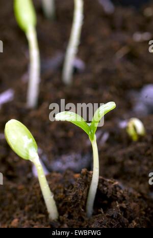 Tiny new seedlings in macro shot in soil - Stock Photo