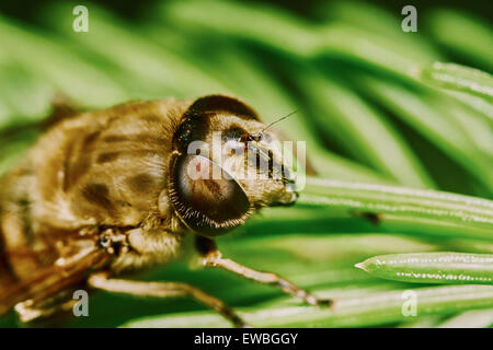 Bee on the branch of fir in the garden - Stock Photo