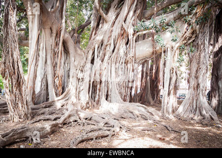 Biggest tree of ficus with its amazing roots. Palermo, Sicily. Italy - Stock Photo