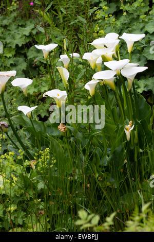 White spathes of the hardiest form of the calla lily, Zantedeschia aethiopica 'Crowborough' - Stock Photo