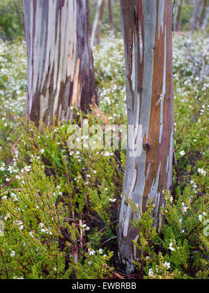 Bark patterns on a Snow Gum (Eucalyptus pauciflora), Mount Field National Park, Tasmania, Australia - Stock Photo