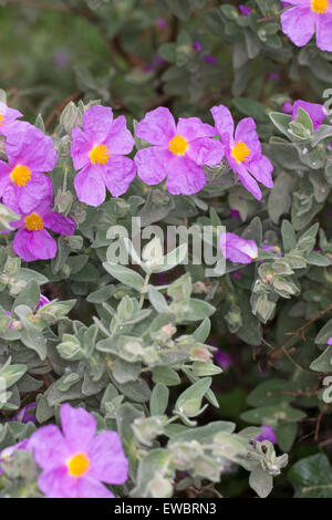 Grey leaved cistus, grey-leaved cistus, White leaf rockrose, Weißliche Zistrose, Weißliche Cistrose, Cistus albidus, - Stock Photo