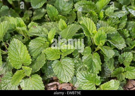Bee Balm, Lemon Balm, leaf, leaves, Zitronenmelisse, Zitronen-Melisse, Blatt, Blätter, Melisse, Melissa officinalis, - Stock Photo