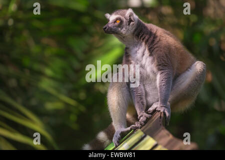 Ring-tailed lemur sun-loving primates from Madagascar, Singapore Zoo. - Stock Photo