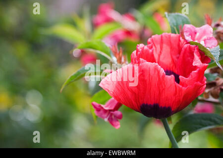 Papaver somniferum. Red poppy in an English garden. - Stock Photo