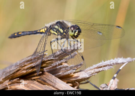 Black Darter - Sympetrum danae - Stock Photo