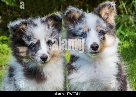 Portrait of two young sheltie dogs outdoors in garden - Stock Photo