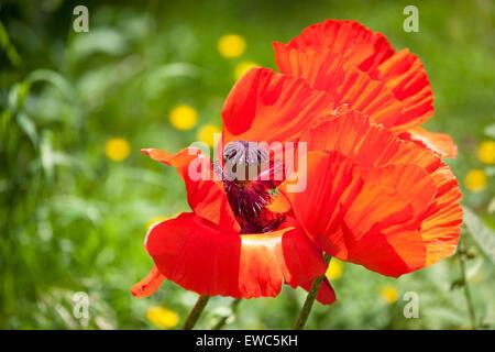 Oriental poppies in bloom - Stock Photo