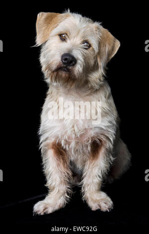 Classic studio portrait of an adult wire hair white shaggy Terrier mix dog on black background with floppy ears - Stock Photo