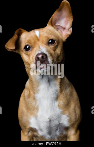 Captivating studio portrait of adult yellowish tan Chihuahua mix dog on black background with white chest one giant - Stock Photo