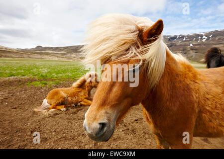 icelandic horses iceland - Stock Photo