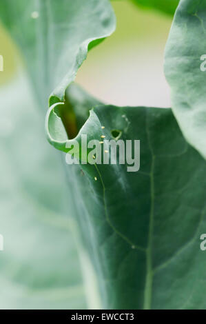 Cabbage white (small white) butterfly eggs  on broccoli - Stock Photo