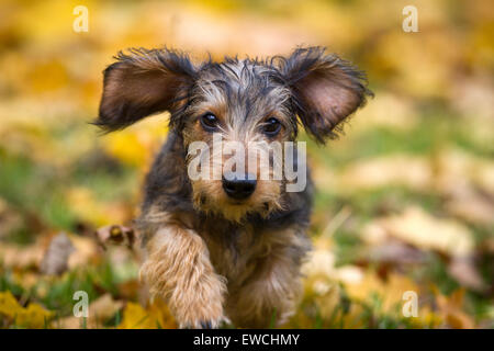 Wire-haired Miniature Dachshund running on autumn leaves - Stock Photo