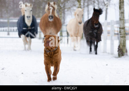 Four ponies following a Chinese Shar-Pei on a snowy pasture. Germany - Stock Photo